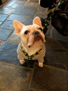 An atypically calm french bulldog.  According to the owner, he was just shy.