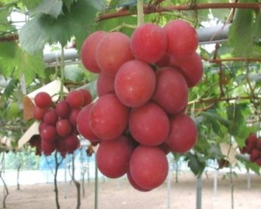 most-expensive-fruit-grapes-ruby-roman