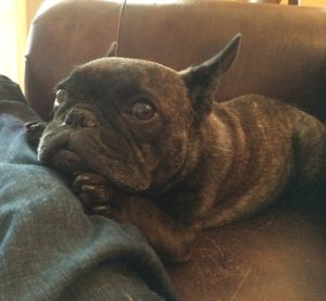 Gratuitous French Bulldog Pic #1