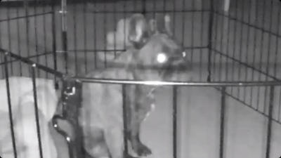 Nest cam view of my demonic frenchie